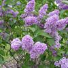Sensation Lilacs - My favorite lilacs. Image #DSC08892