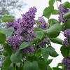 Sensation Lilacs - My favorite lilacs. Image #DSC08888