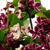 Sensation Lilacs - My favorite lilacs. Image #DSC04404