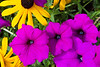 Daisys and Petunias The colors of summer ~Deb 9/16/2012