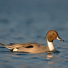 norther pintail esquimalt lagoon