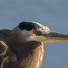 great blue heron victoria bc