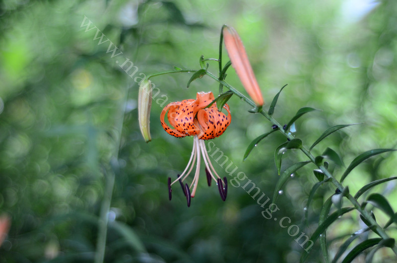 3773 - Tiger lily with buds