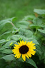3818 - Sunflower  with bud