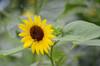 Sunflower Image ID # 0176