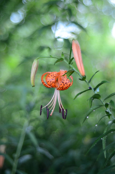3775 - Orange tiger lily after a rain