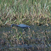 Little Blue Heron, Bombay Hook NWR