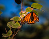 Monarch Butterfly in the enclosure