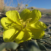P72 - Evening Primrose Near Eureka Dunes