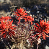 P15 - Indian Paintbrush