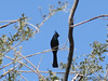 Phainopepla - has white on their wings when they fly