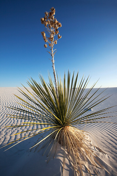Yucca growing in sand, White Sands National Monument, New Mexico