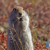 Arctic ground squirrels are one of the more common species of wildlife seen by visitors to Denali National Park and Preserve.