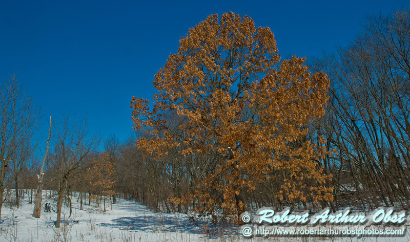 Perfect crystalline blue skies umbrella snowshoers as they pass a majestic oak or Quercus within snowy Owen Conservation Park during the last day of winter just before the Vernal Equinox (USA WI Madison; Obst FAV Photos 2013 Nikon D800 Wild Scenic Destinations Nikon D800 Image 8280)