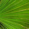 The Paurotis palm was formerly plentiful in Florida, but many plants were taken for the nursery trade. The palm is now protected in the wild by Florida law and grows throughout the Everglades.  #0907