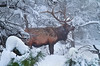 Bull Elk - Grand Canyon - Arizona, #0316