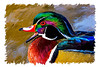 """Colorful Fellow""<br /> A painting of a wood duck (Aix sponsa). The effect was done with the mixer brushes, hand-painted using a Wacom tablet in Photoshop. The original photo was taken in the wild in Littleton, Colorado, USA."