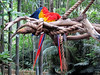 Macaw in Discovery Island