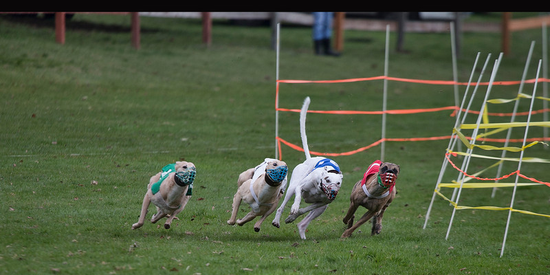 Whippets-1,2,3,4-02P0003-8x16