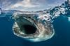 Whale Shark Skimming