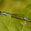 Enallagma aspersum (Azure Bluet), GA