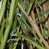 Lestes forcipatus (Sweetflag Spreadwing), GA