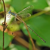 Lestes rectangularis (Slender Spreadwing), GA