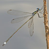 Lestes vigilax (Swamp Spreadwing), GA