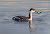 horned grebe with fish prey
