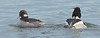 bufflehead & red-breasted merganser