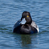 Lesser Scaup Famosa Slough 2014 04 01-1.CR2