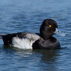 Lesser Scaup Famosa Slough 2014 04 01-3.CR2