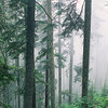 Forest near Snoqualmie Pass shrouded in fog