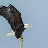 Homer Eagle - Wings-Up Perched