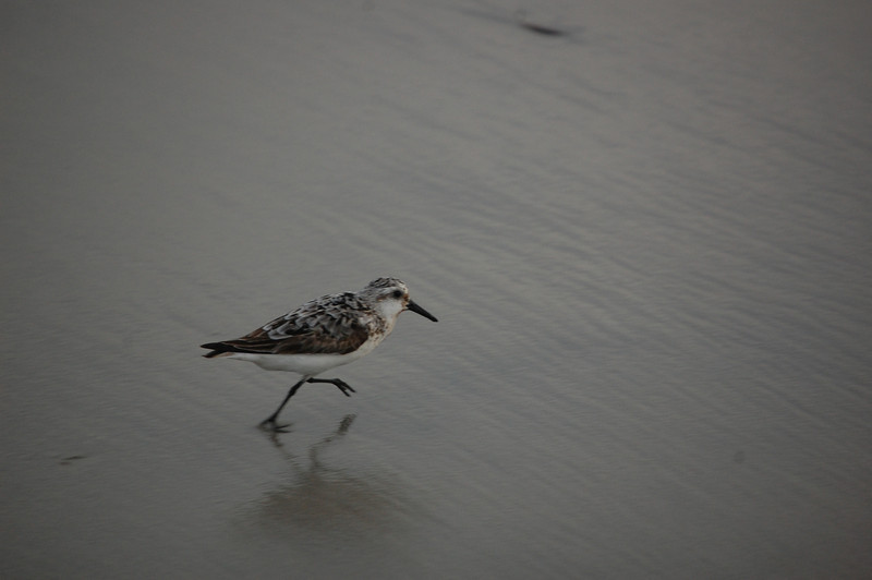 Western Sandpiper - Ventnor City