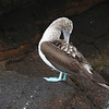 Blue-footed Booby 2015 2221