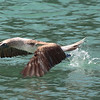 Blue-footed Booby 2015 0478