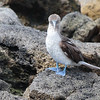 Blue-footed Booby 2015 0509