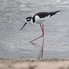 Black-necked Stilt 2015 2119