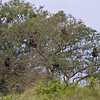 Five Olive baboons in a tree