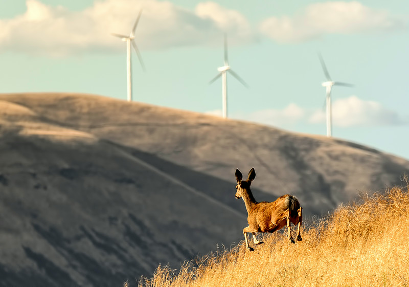 A young mule deer bounds along a rise on Gordon Ridge Road near Biggs, Oregon. The wind turbines are on the north side of the Columbia River near Maryhill, Washington.