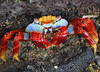 Espanola sally lightfoot crab