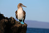 "BLUE-FOOTED BOOBY 5 Fernandina Island  ""It's hard to be serious when you have webbed feet -- blue ones make it impossible!"""