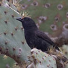 Common Cactus-Finch, male<br /> Charles Darwin Research Station, Santa Cruz