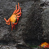 Sally Lightfoot Crab<br /> Gardner Bay, Espanola