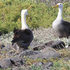 Waved Albatross displaying (video)<br /> Punta Suarez, Espanola