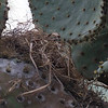 Common Cactus-Finch nest<br /> Charles Darwin Research Station, Santa Cruz