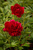 Paeonia Red Charm_4565