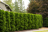 Thuja occidentalis Holmstrup_020M