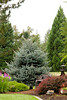 Picea pungens Fat Albert_018